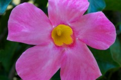 If you are looking for a pink, white or red flowering tropical vine that will not stop flowering all summer long, then the Mandevilla is for your garden.  Does well both in containers and planted.
