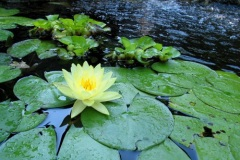Hearty Water Lillies and Hyacinth Harmonize in Pond